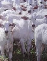 O produtor deve ter cuidado com o controle de vermes em bovinos de corte