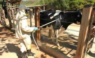 Animais de sangue doce são mais vulneráveis ao carrapato no rebanho bovino