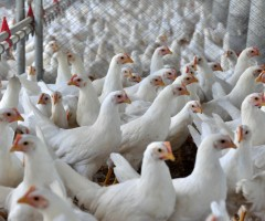 Avicultura de Pernambuco registra 94,5% das granjas dentro das normas sanitárias