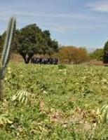 Plantio de melancia como alternativa de boa renda para o produtor rural