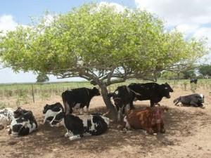 vacas vermifugadas