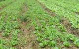 Excesso de umidade prejudica a qualidade das hortaliças