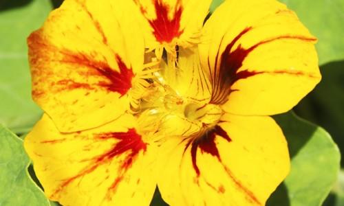 """<h2><a href=""""http://nordesterural.com.br/a-importancia-nutricional-das-flores-comestiveis/"""">A importância nutricional das flores comestíveis</a></h2>Além do consumo fresco em saladas, a flor comestível capuchinha (Tropaeolum majus) também pode ser desidratada, embebida em álcool ou em calda de açúcar ou, ainda, congelada em forma de"""