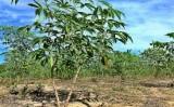 Os principais produtos agrícolas produzidos pelo estado do Amazonas