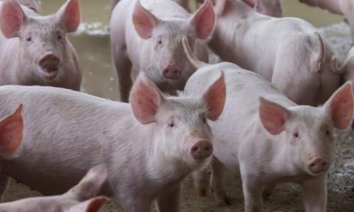 Vendas para o mercado asiático podem melhorar o desempenho das exportações de carne suína brasileira
