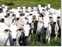 Rebanho bovino - aftosa