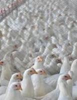 Avicultura em lento retorno à normalidade