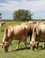 Últimos preparativos para a maior exposição de gado Jersey do Brasil