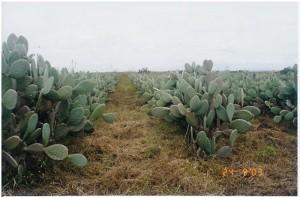 palma plantação