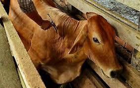 vaca no brete