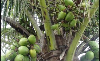 Explicações para a queda dos frutos jovens do coqueiro