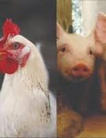 Aumenta o custo de produção do quilo de suíno vivo e de frango no Brasil