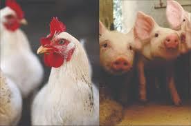 suino e frango