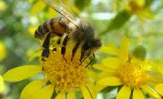 Alerta para o desaparecimento das abelhas no meio ambiente