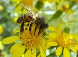 abelhas no polen