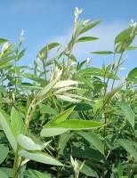 Uma leguminosa que resiste aos períodos secos e fornece proteína para os animais