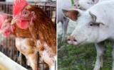 Queda nas exportações brasileiras de carne de frango e de suínos