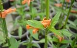 Um porta-enxerto híbrido ajuda a proteger o plantio de pimentão contra as pragas
