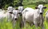 Suplementação de vitaminas para bovinos garante melhor produtividade do rebanho