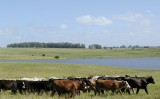 Entenda as diferenças de bovinos criados em confinamento e os criados a pasto