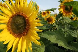 girassol flor