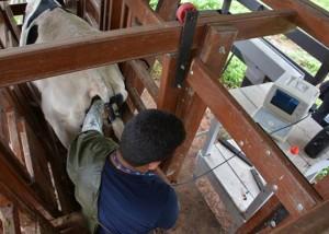 inseminação bovina