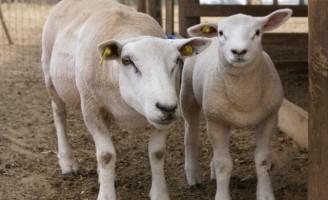 Orientações para melhorar o manejo da cruza em ovinos