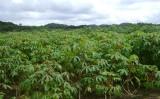 Controle da plantação de mandioca no semiárido usando o sistema de produção agroecológica