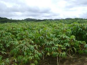 plantio de mandioca