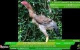 Inacreditável! Mas uma galinha foi vendida por R$ 74 mil no interior de São Paulo