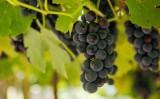 Plantar uva na região da mata de Pernambuco ajuda a aumentar a renda do agricultor