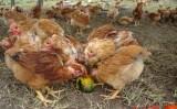 O uso de alimentos alternativos para garantir as características das galinhas caipiras