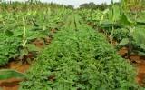 Um projeto para o cerrado que estimula o consórcio de fruteiras com lavouras