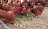 Como ter uma criação saudável de galinha caipira