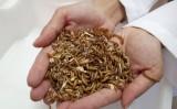 Produtor já pode alimentar a criação de peixes e aves com insetos