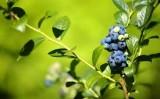 Uma fruta com características para retardar o envelhecimento humano