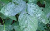 Uma mistura simples e barata pode controlar o ataque do oídio em culturas hortigranjeiras