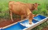 A importância da suplementação mineral para a saúde e engorda do gado