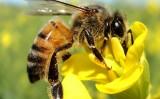 Própolis de abelha combate ao fungo que ataca milho, citros e tomate