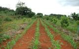 Tecnologia orienta agricultor a produzir lavouras em consórcio com fruteiras do cerrado
