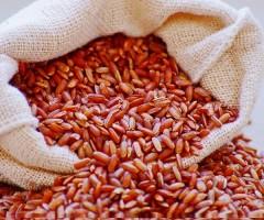 Uma cultivar de arroz própria para cultivo em vários estados do nordeste