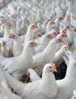 Balanço de outubro apresenta um pequeno aquecimento nas exportações de carne de frango