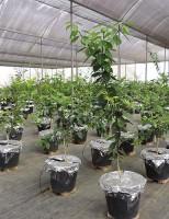 Pesquisadores fazem estudos para criar cítricos resistentes à seca