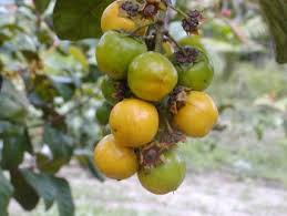 fruta do murici