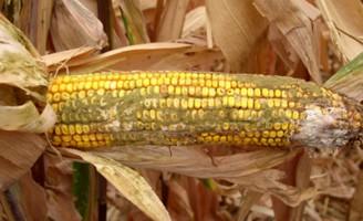 Como o agricultor pode se prevenir contra a contaminação do milho pela aflatoxina