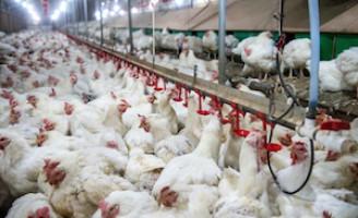 Balanço identifica queda na produção de aves e de suínos este ano no Brasil