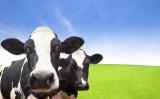 Produtor de leite deve ter toda atenção no período de transição das vacas