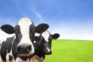 vacas leiteiras - transição