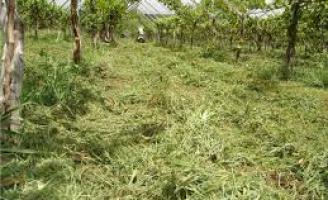 Adubação verde melhora a produção e a renda do produtor rural