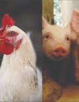 Produção de frangos e suínos tem elevação nos custos